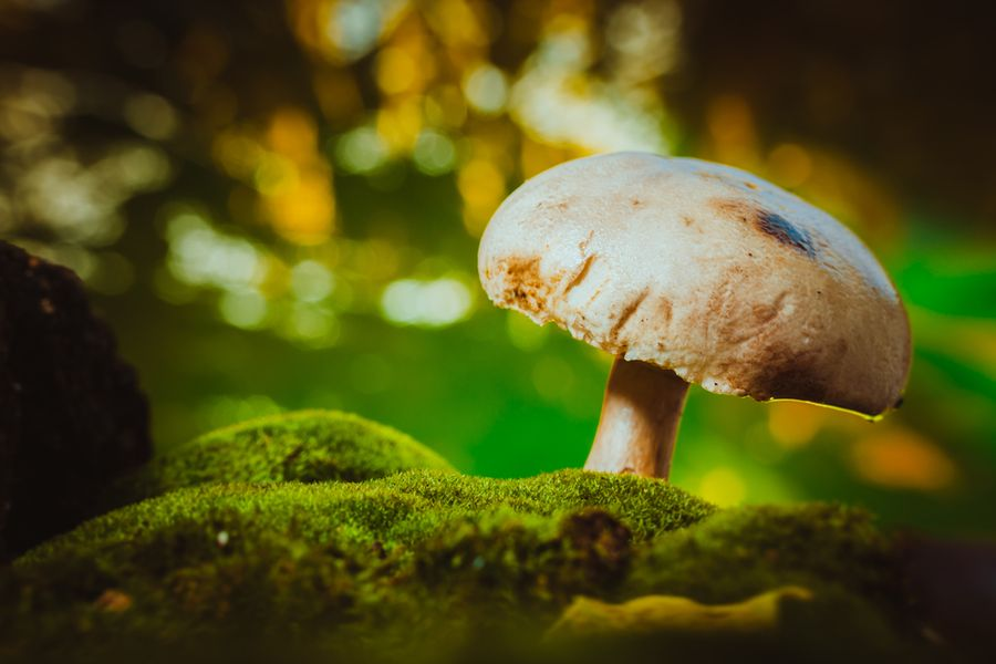 моховик гриб