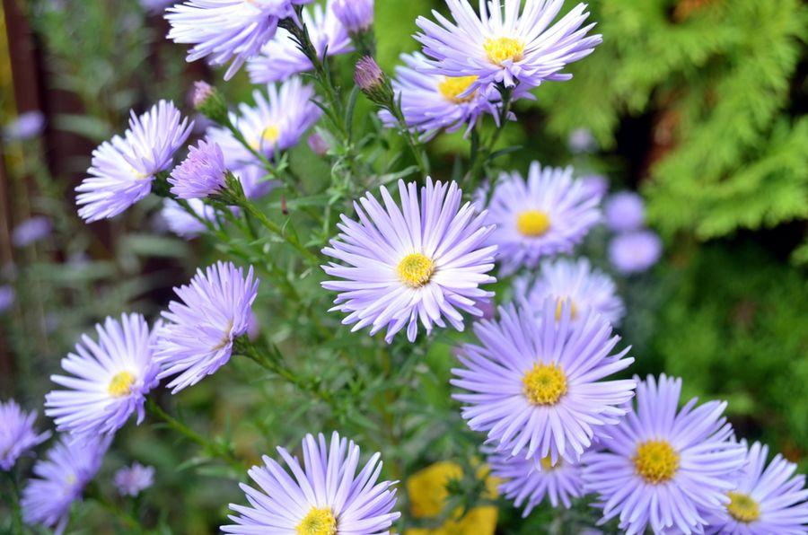 октябринки цветы