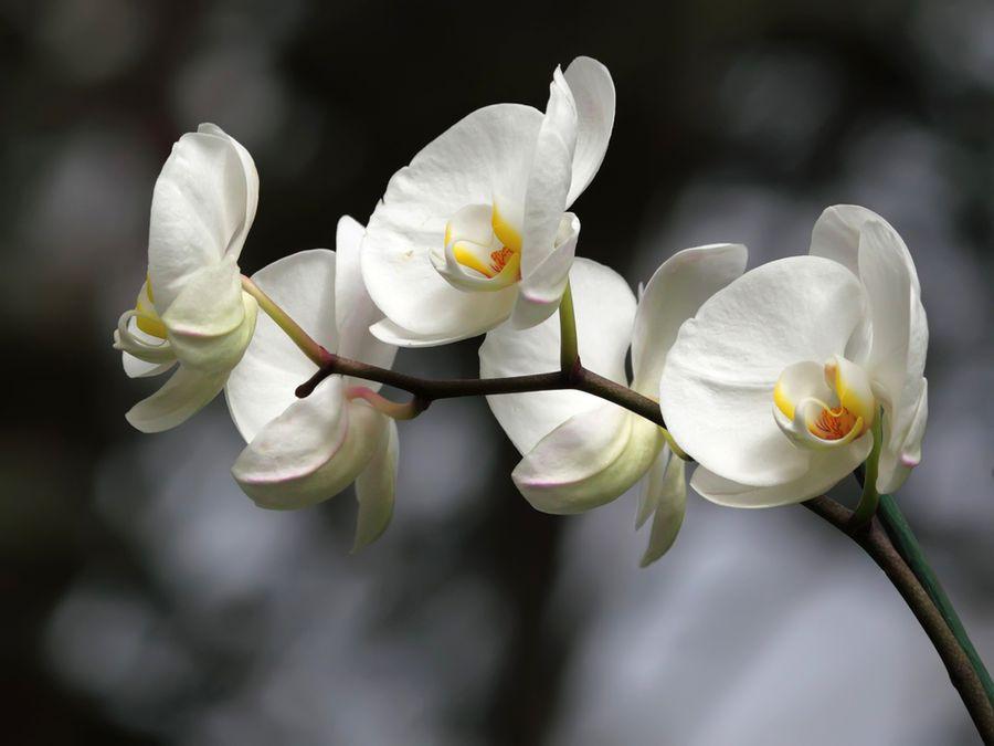 где растет в природе орхидея