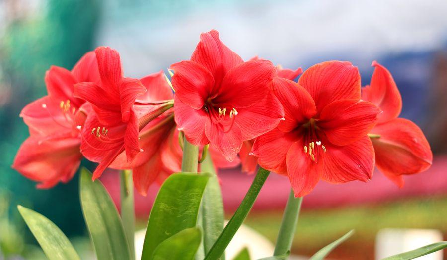 Амариллис цветок