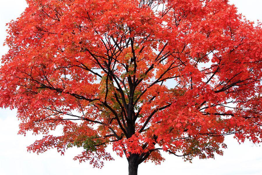 декоративное дерево клен
