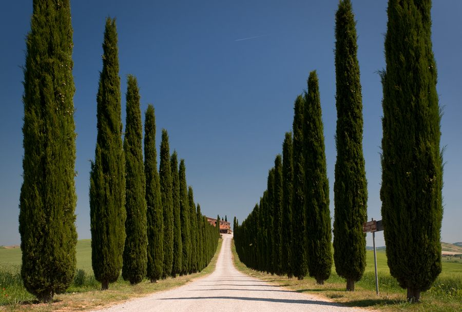 дерево кипарис