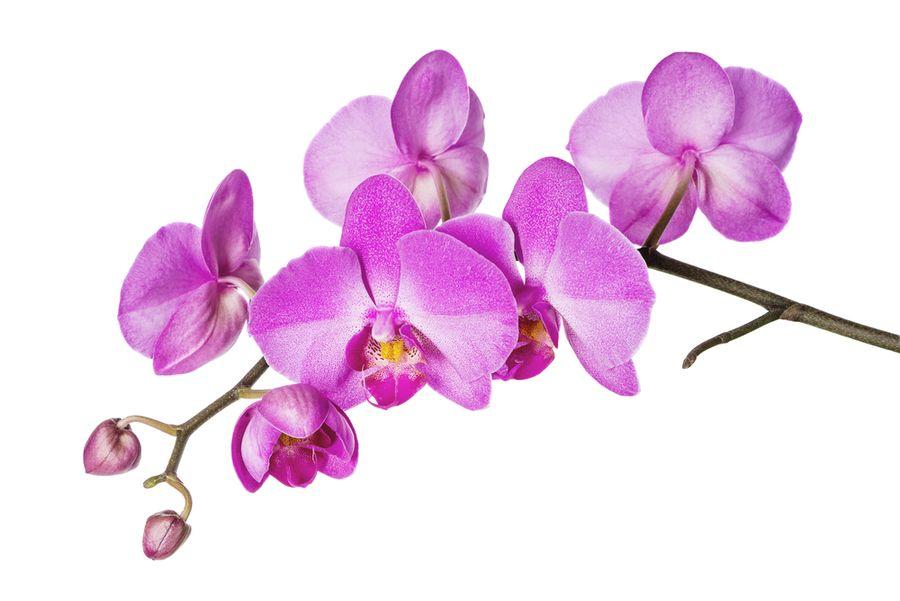 сколько орхидея цветет