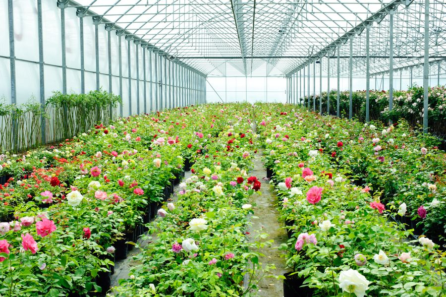 Розы в теплице