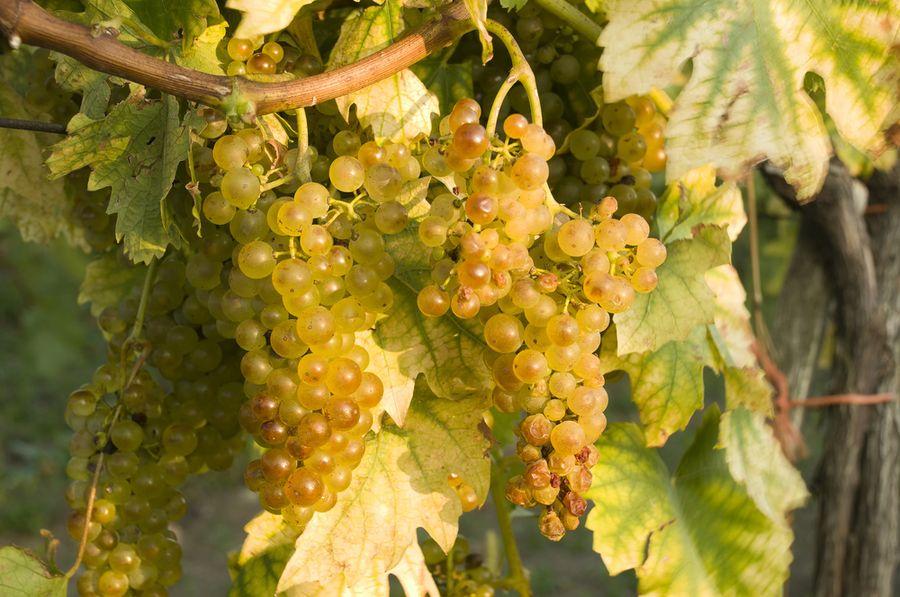 обрезка винограда первого года
