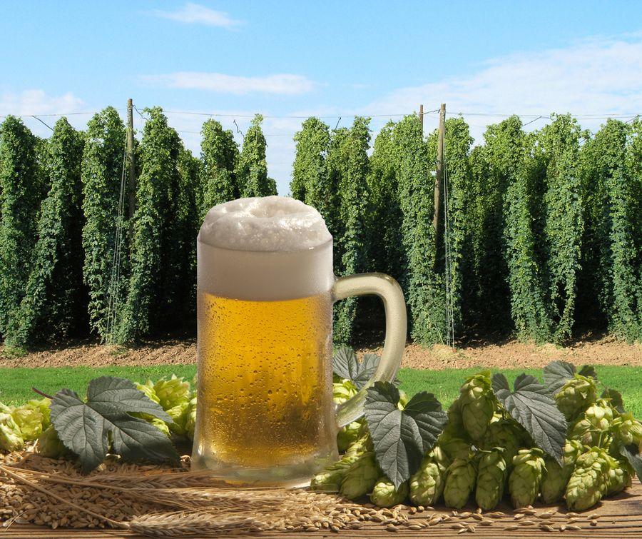 рецепт пива из хмеля