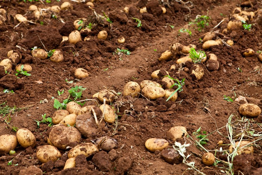 что сажать после картофеля