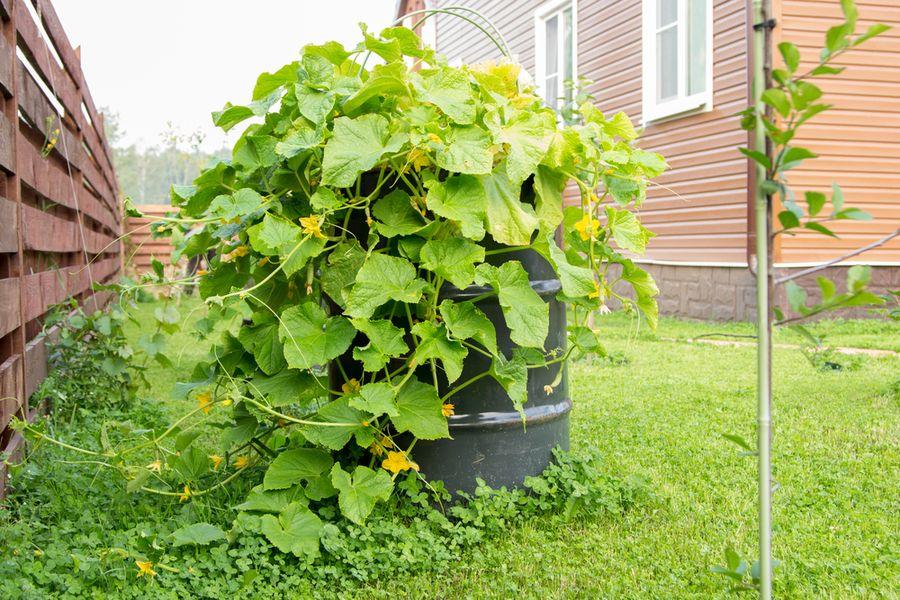выращивание в бочке огурцов