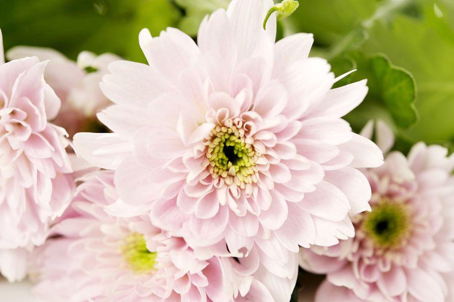 хризантемы куст