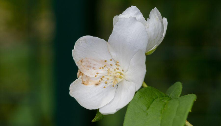чубушник венечный