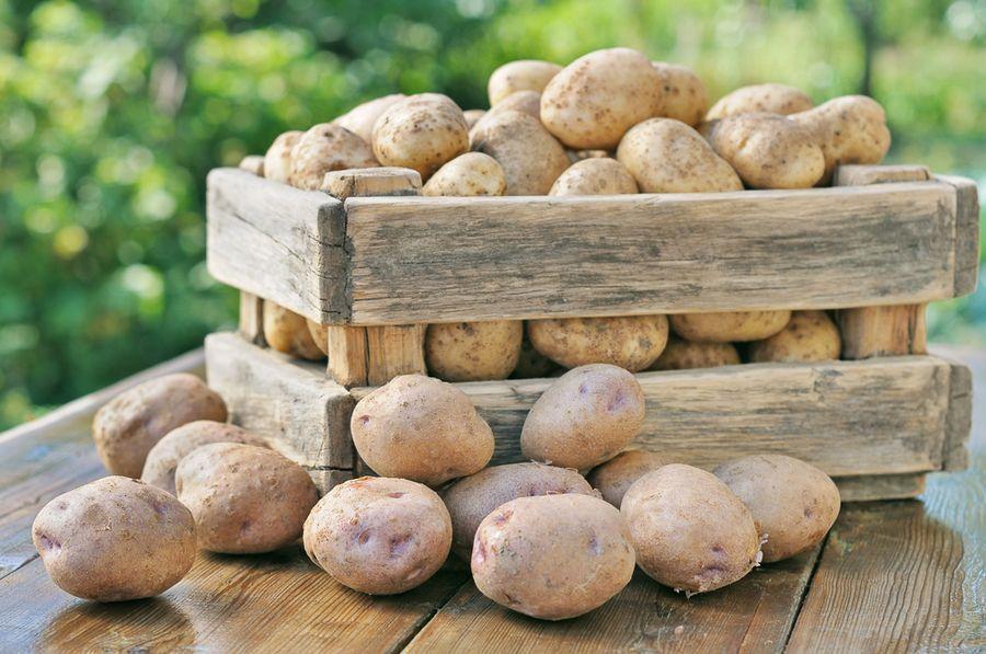 сколько растет картофель