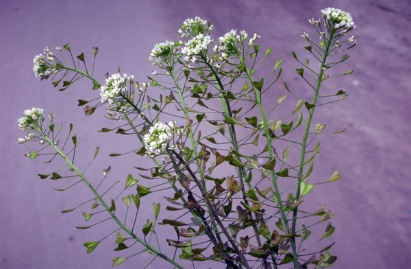 f2a09b63f124 Пастушья сумка: лечебные свойства травы, описание и фото, применение ...