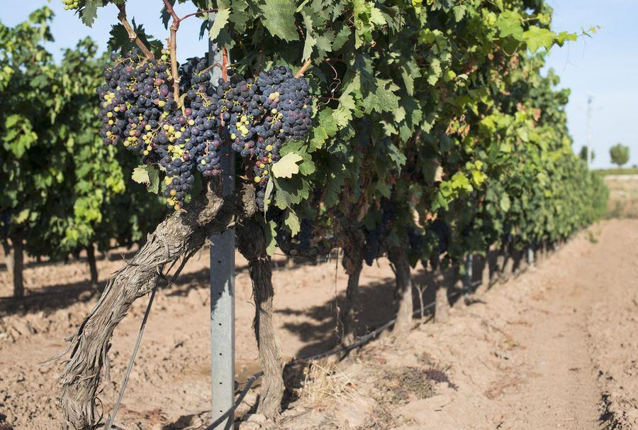чарли виноград отзывы