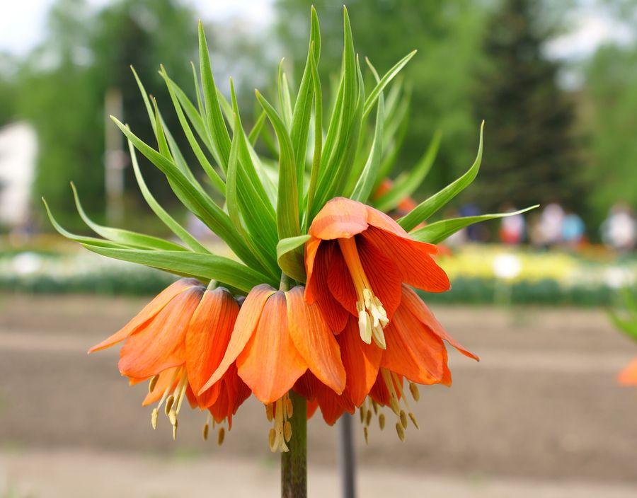 рябчик цветок