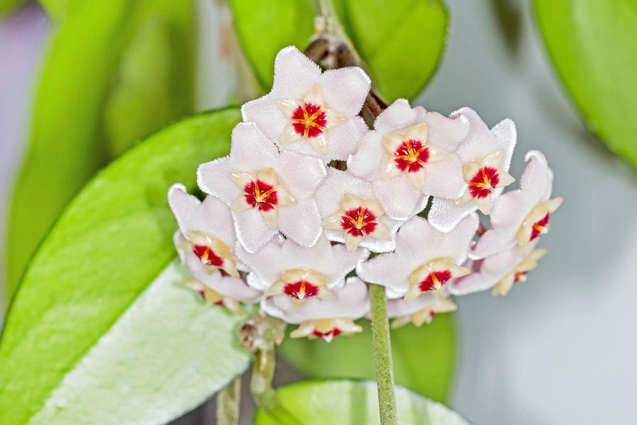 вьющиеся комнатные цветы