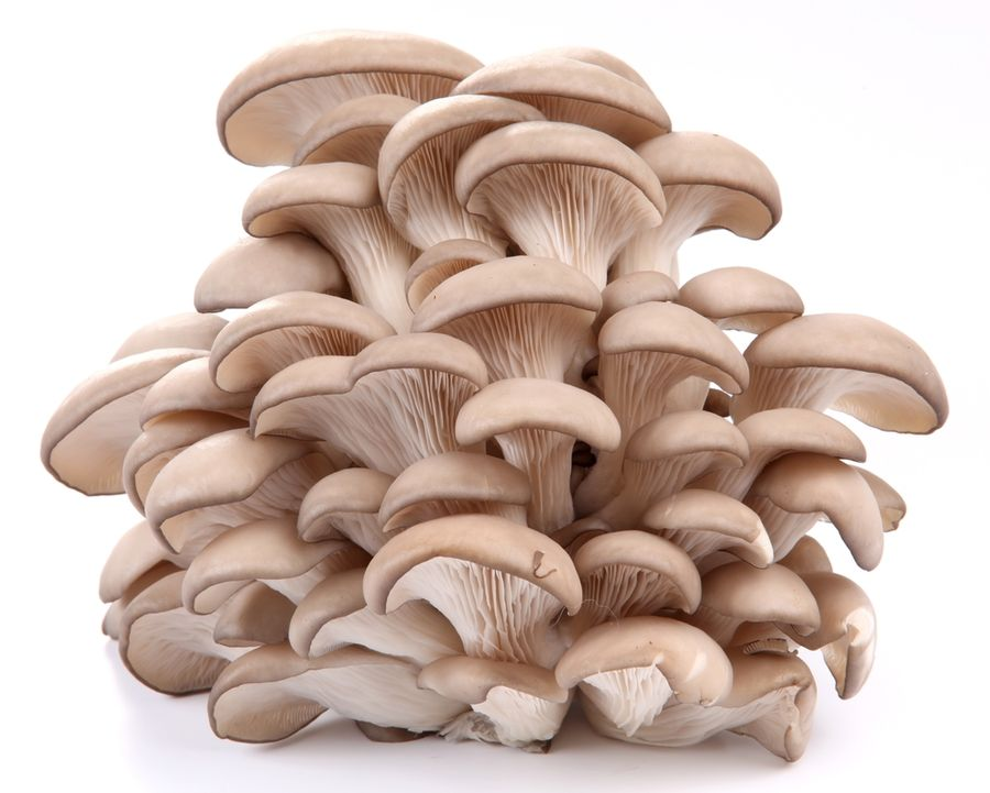 грибы вешенки