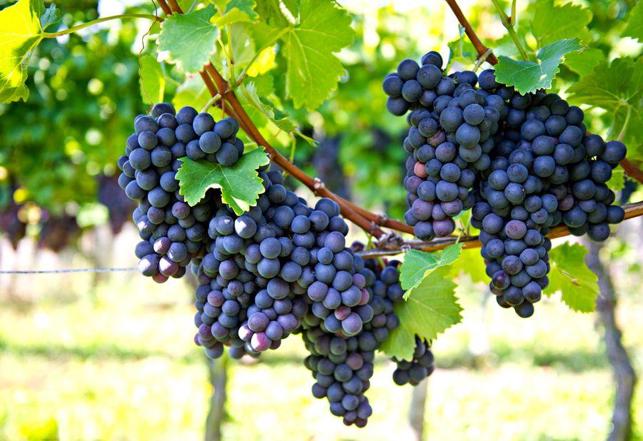 когда садить виноград и как