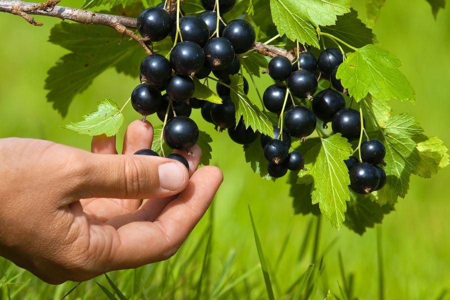черной смородины сорта