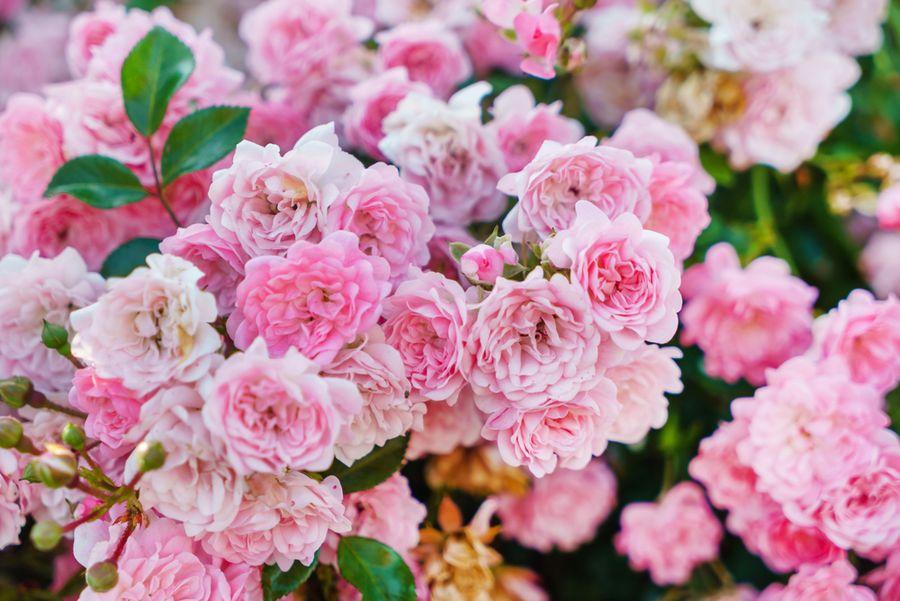 роза фейри