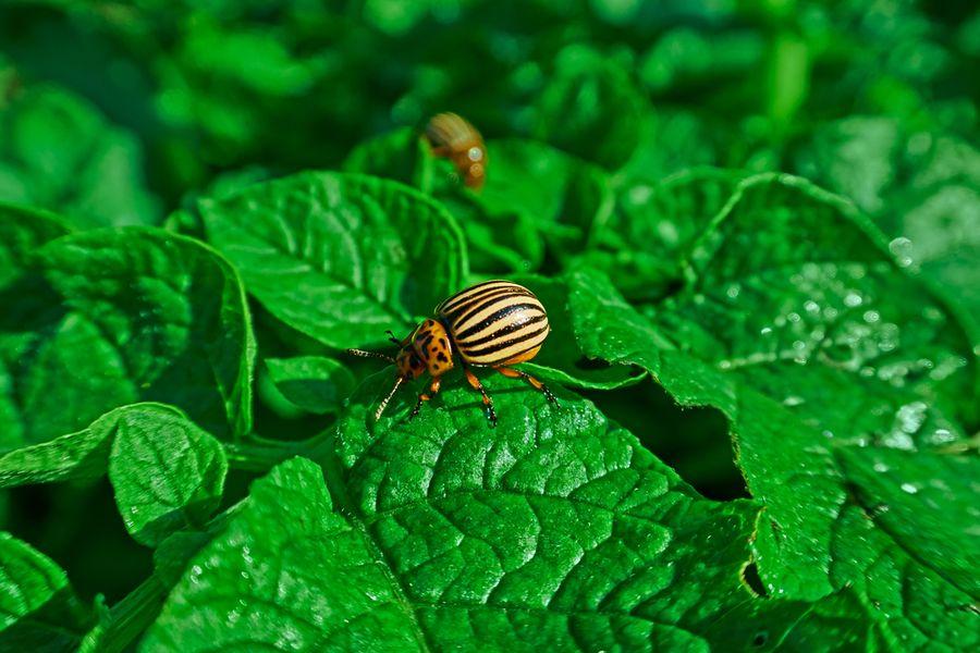 колорадский жук борьба с ним