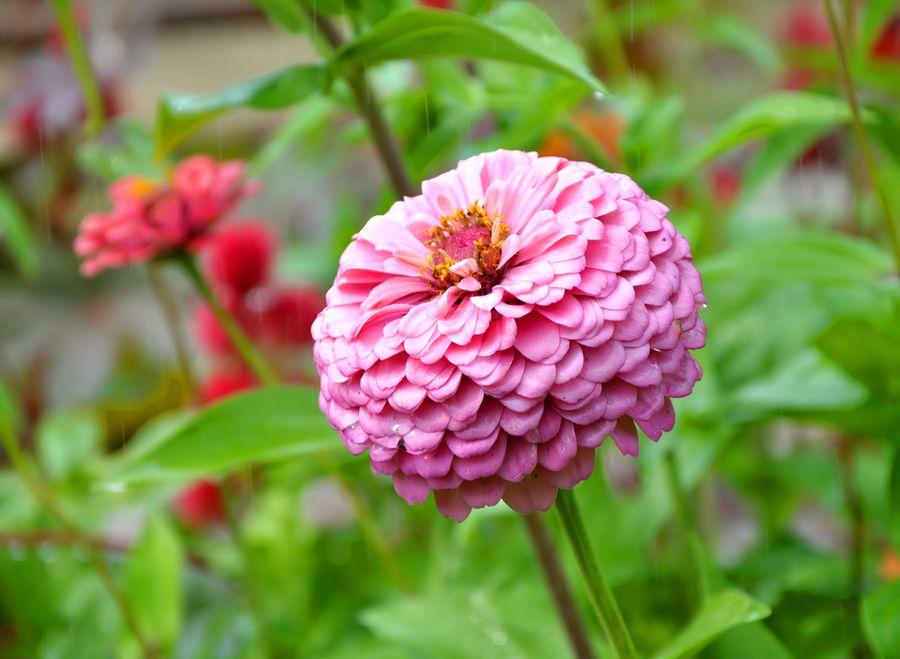 цветы цинии