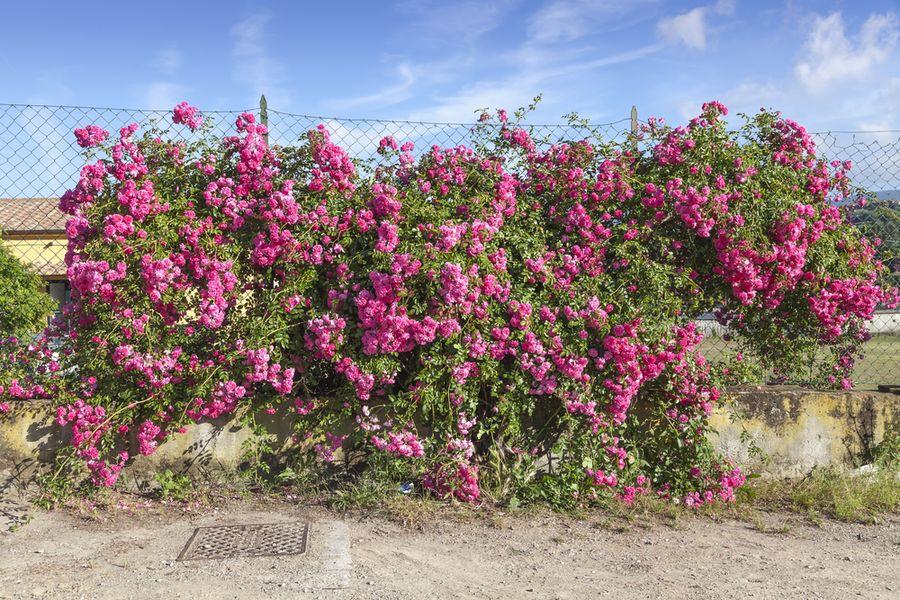 как укрыть плетистые розы