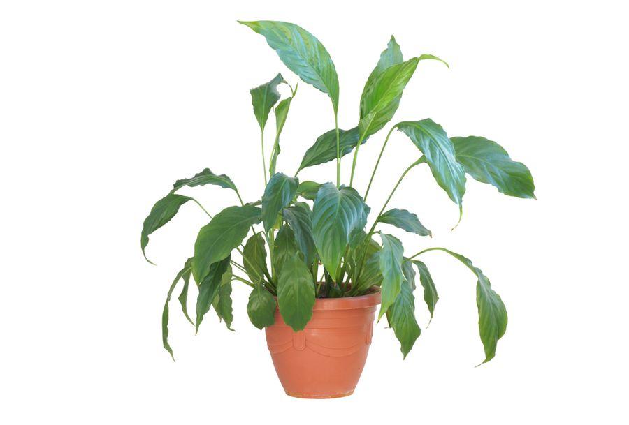 спатифиллум цветок