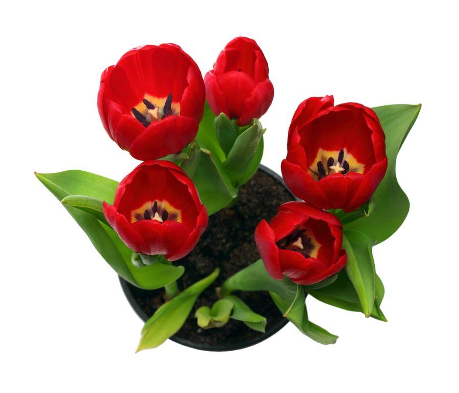 тюльпаны в горшке