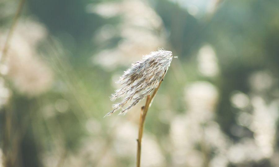 тростник