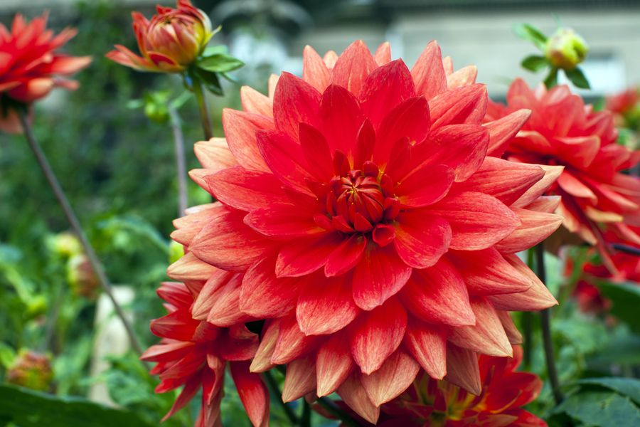 георгины крупноцветковые