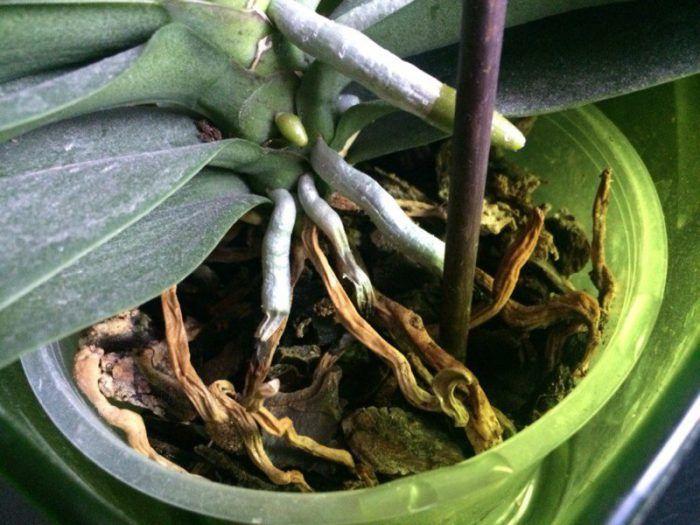 у орхидеи сгнили корни