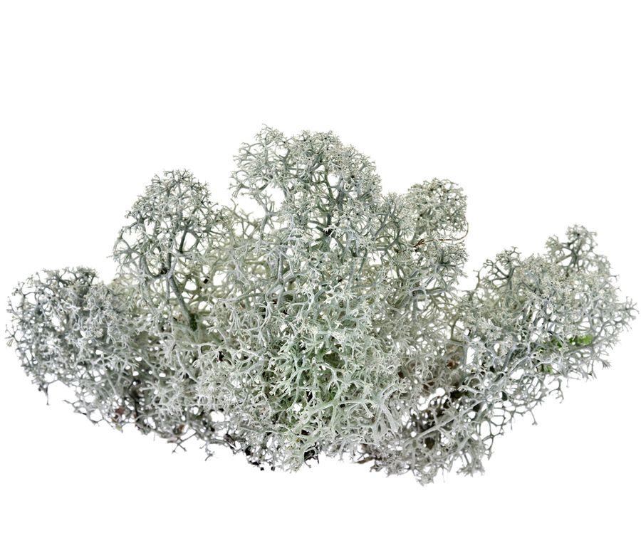 олений мох