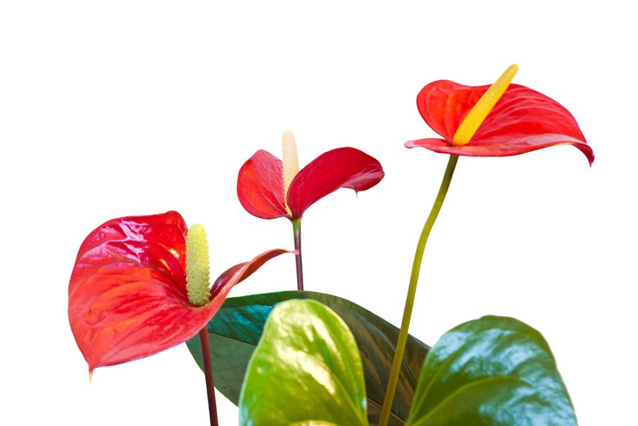 антуриум цветок