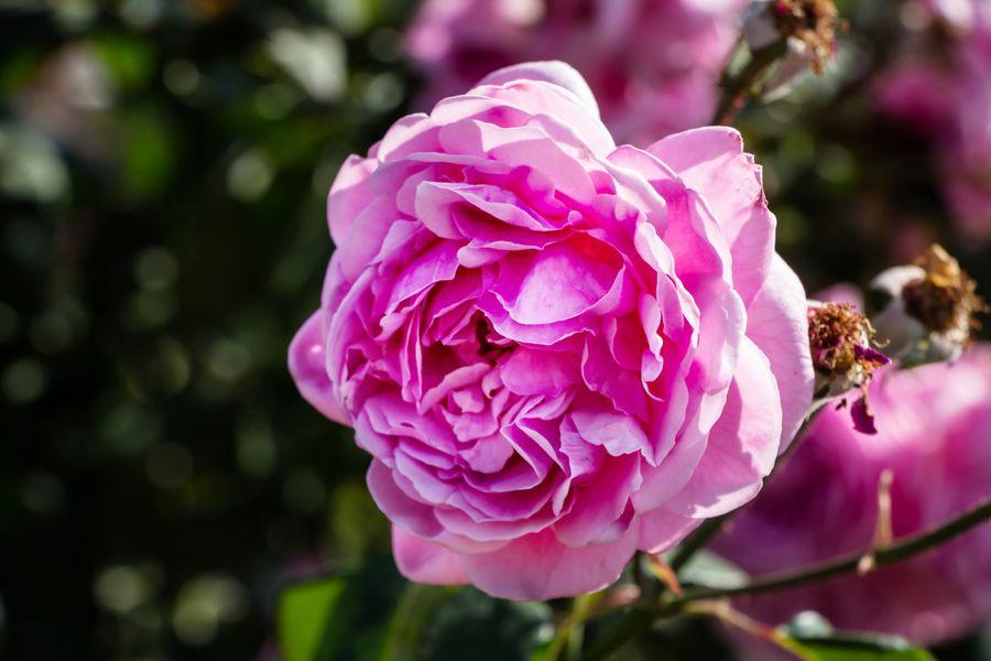роза леонардо да винчи описание