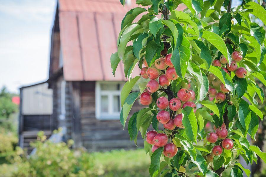 Колонновидная яблоня сорта