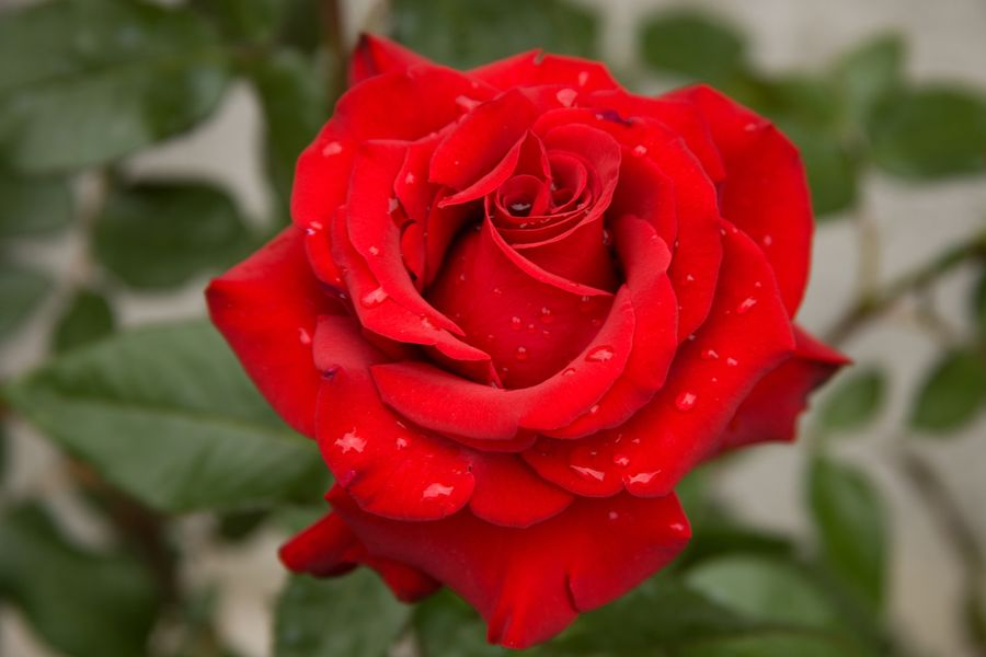 сорт роз софи лорен фото