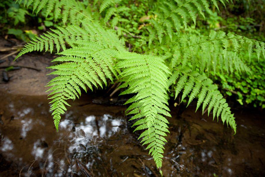 кочедыжник растение