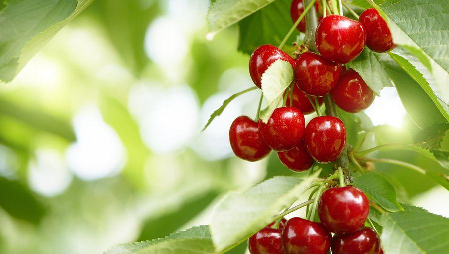 описание сортов вишни