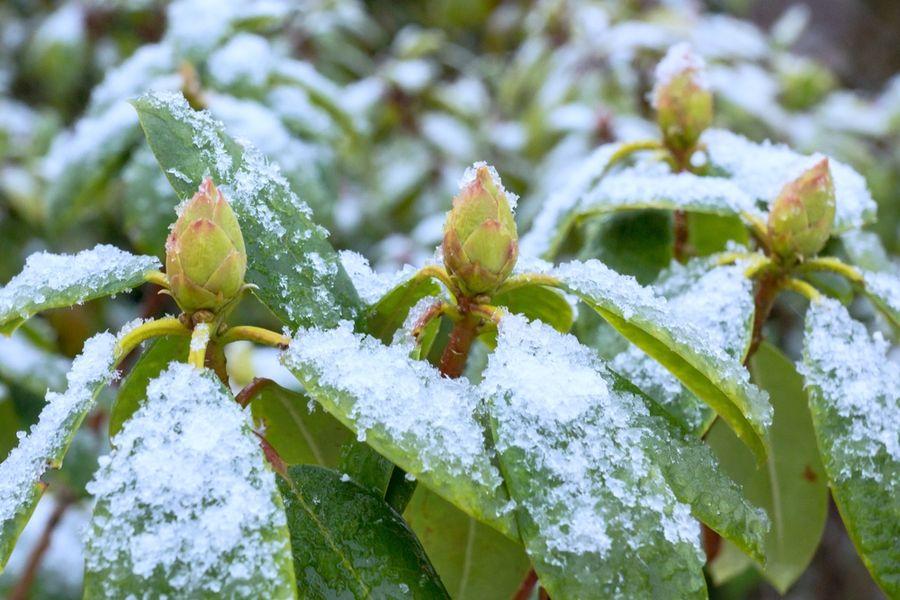 рододендрон подготовка к зиме