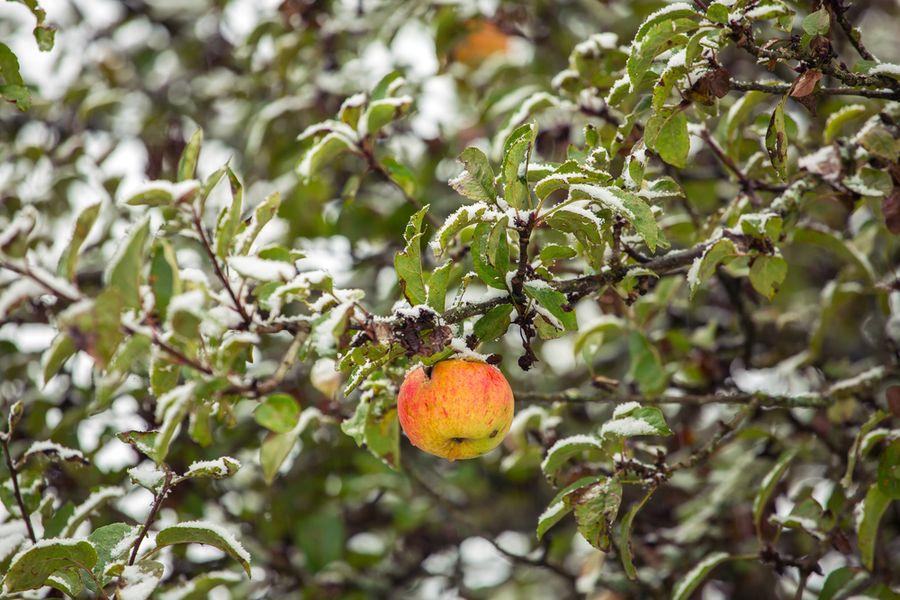 почему не опали листья на яблонях