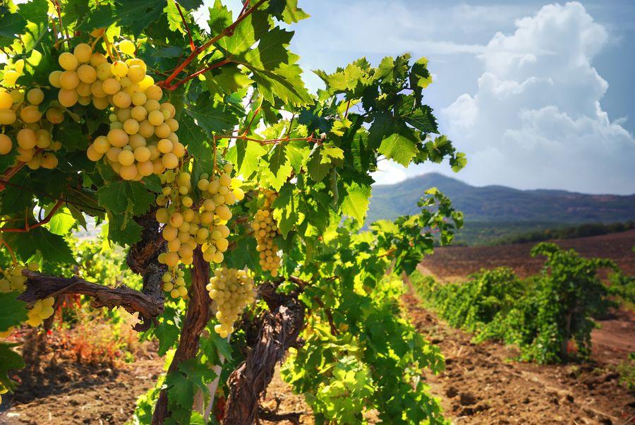 чем обрабатывать на зиму виноград