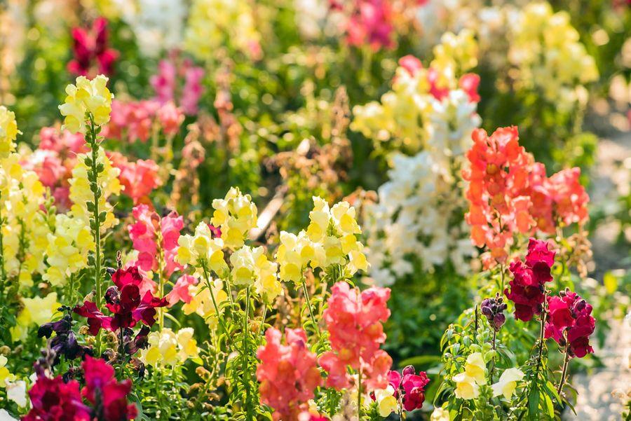 цветы львиный зев