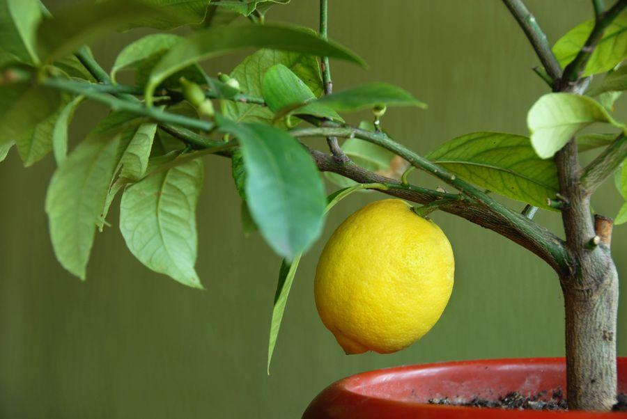 лимон цветок