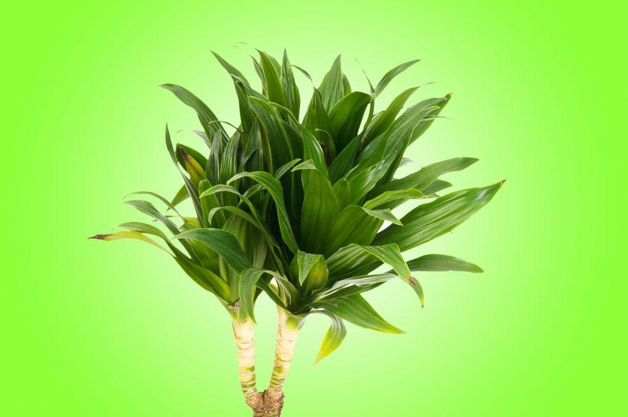 цветок драцена