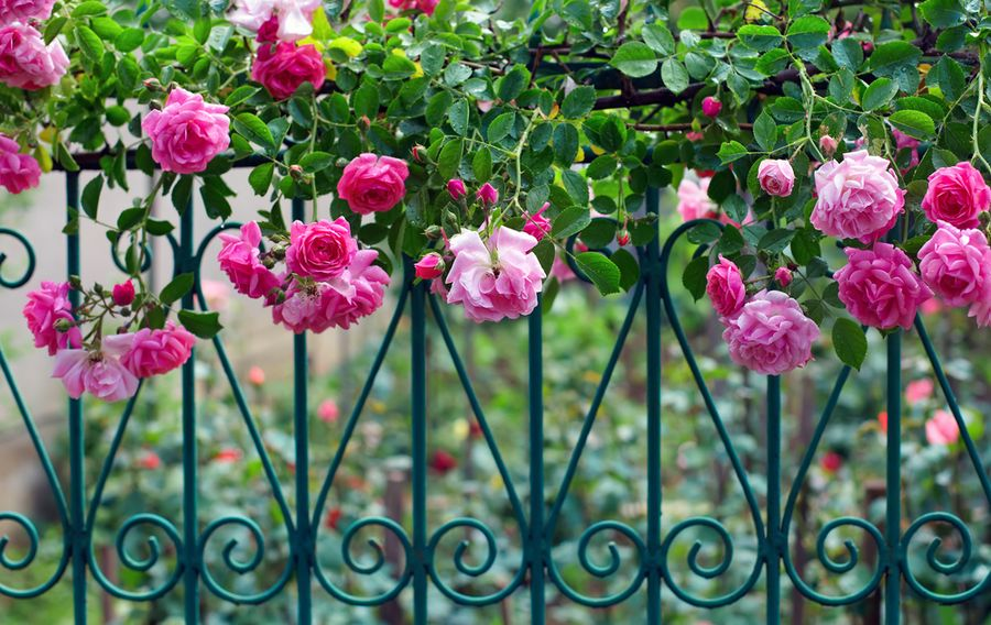 роза парад