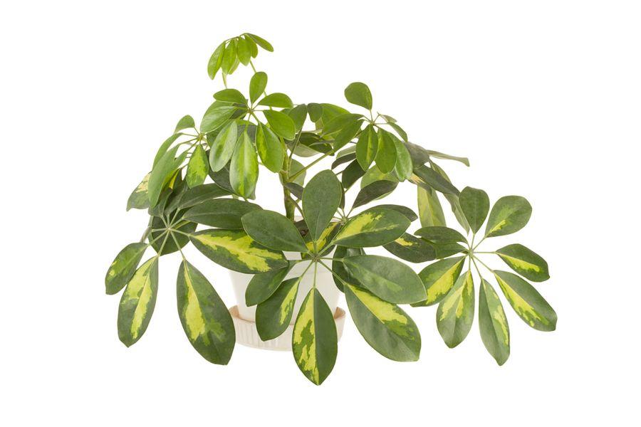 опадают листья у шефлеры что делать