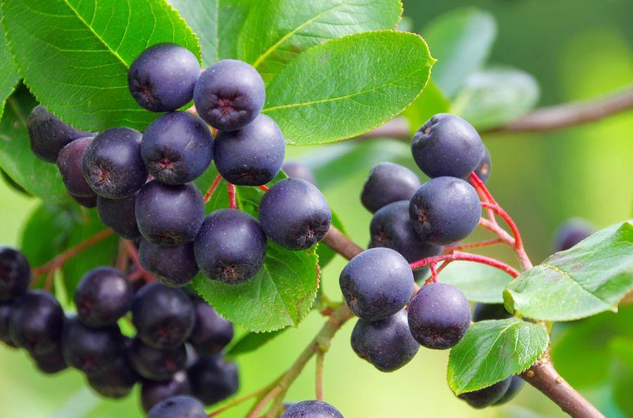Арония черноплодная лечебные свойства