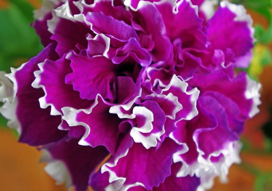 крупноцветковая махровая петуния