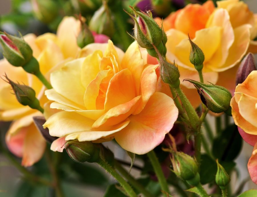 роза спрей описание