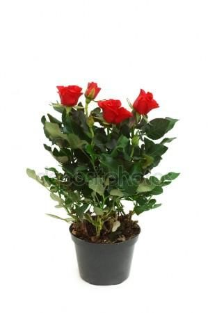 розы черенками из букета